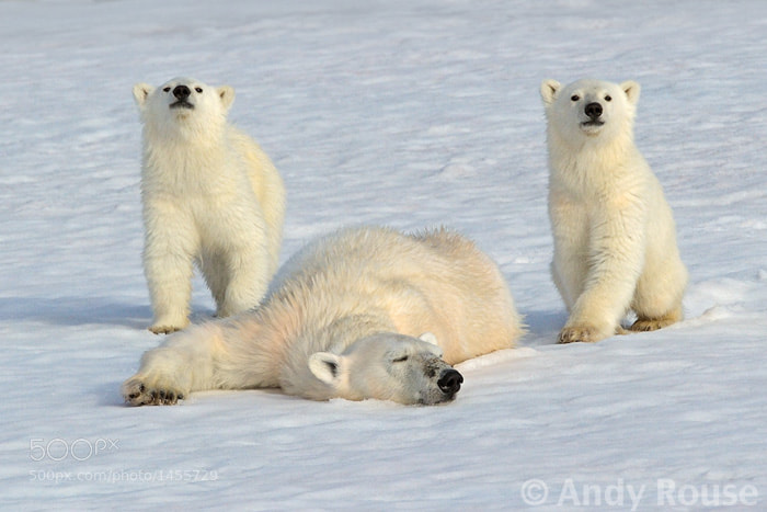Photograph Polar Bear with cubs by Andy Rouse on 500px