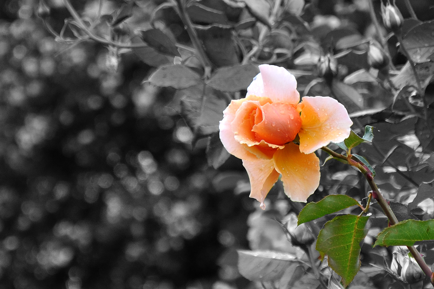 Photograph Orange rose by Mauro Ortiz on 500px