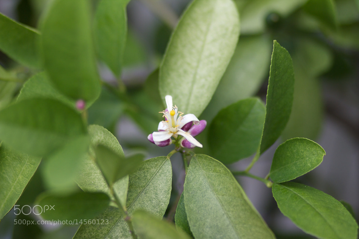 Photograph Lemon Blossom by Matt Staub on 500px