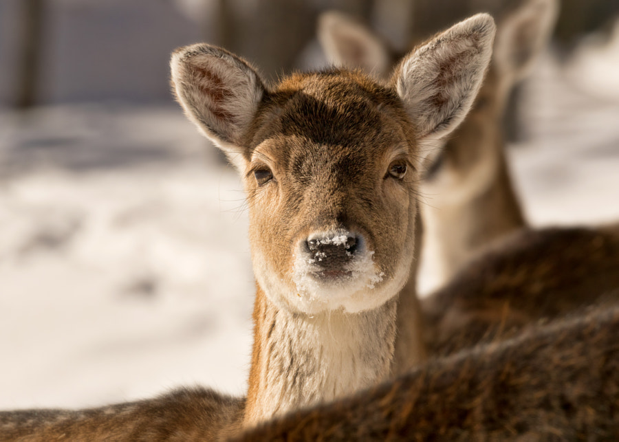 Fallow deer ❖ Daim by Lucie Gagnon on 500px.com