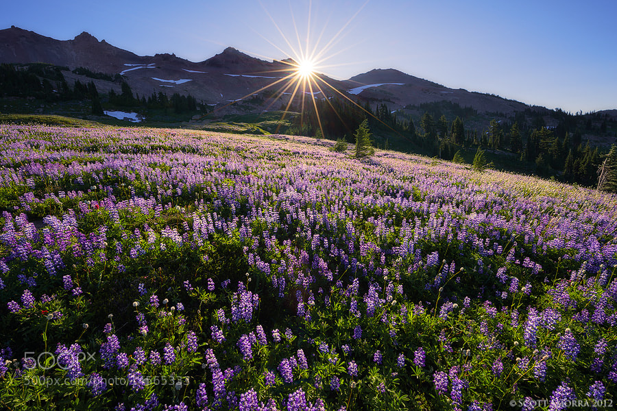 Photograph Lupine Sunrise by Scott  Smorra on 500px