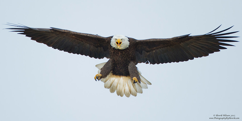 Photograph Screaming Eagle by Henrik Nilsson on 500px