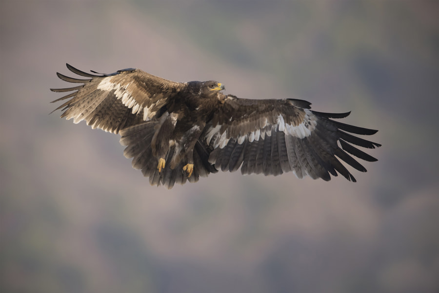 Landing Gear On: Steppe Eagle by Riaz J. Siddiki on 500px.com