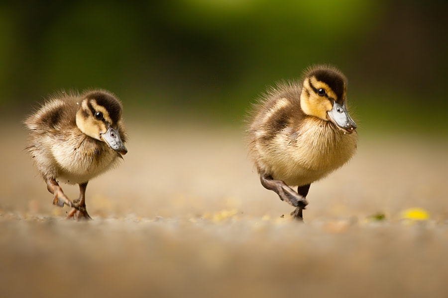 Ducks by Robert Adamec on 500px.com