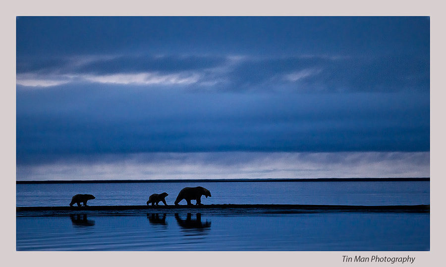 Photograph Polar Bear Sow and Cubs after Sunset by Tin Man on 500px