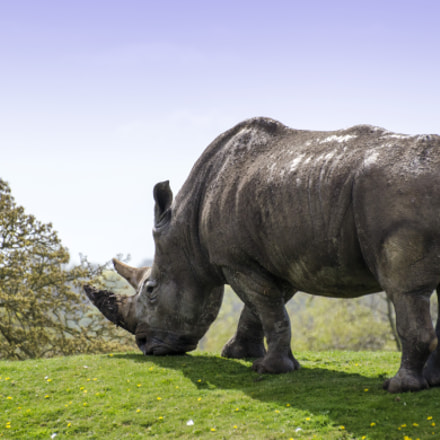Rhino grazing at Africa Alive