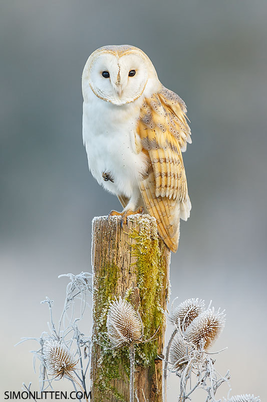 Barn Owl On Frosty Morn by Simon Litten on 500px.com