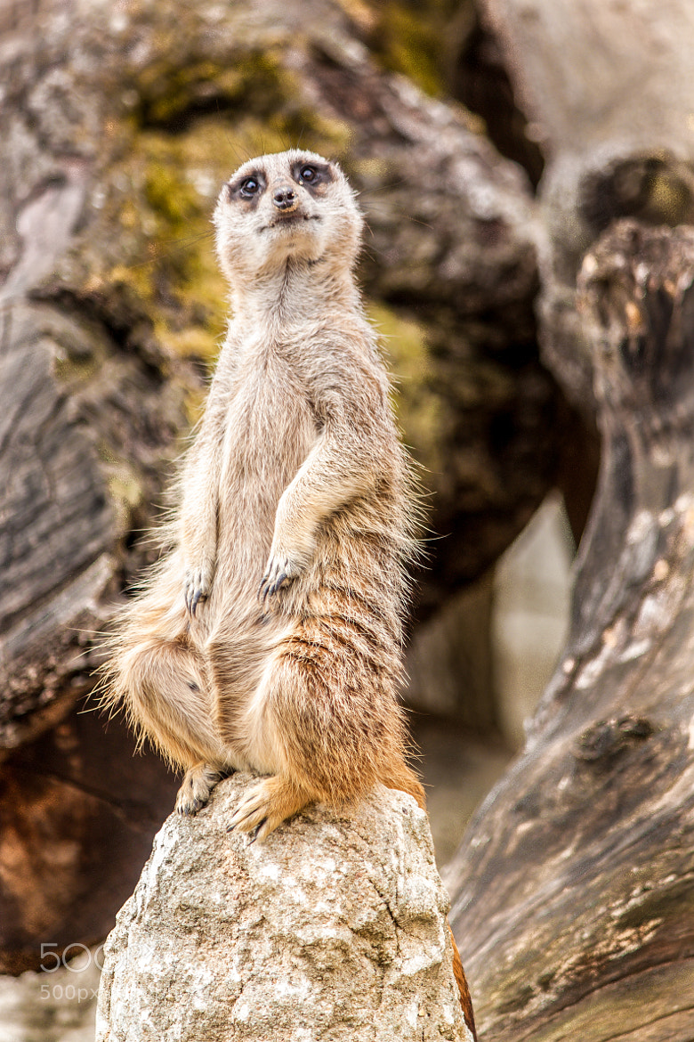Photograph Suricate by David Vercruysse on 500px