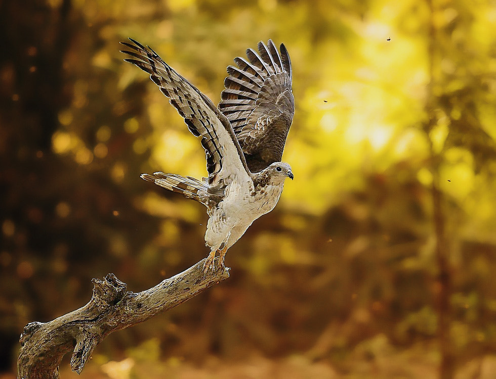 Photograph Honey Buzzard II by Dajan Chiou on 500px