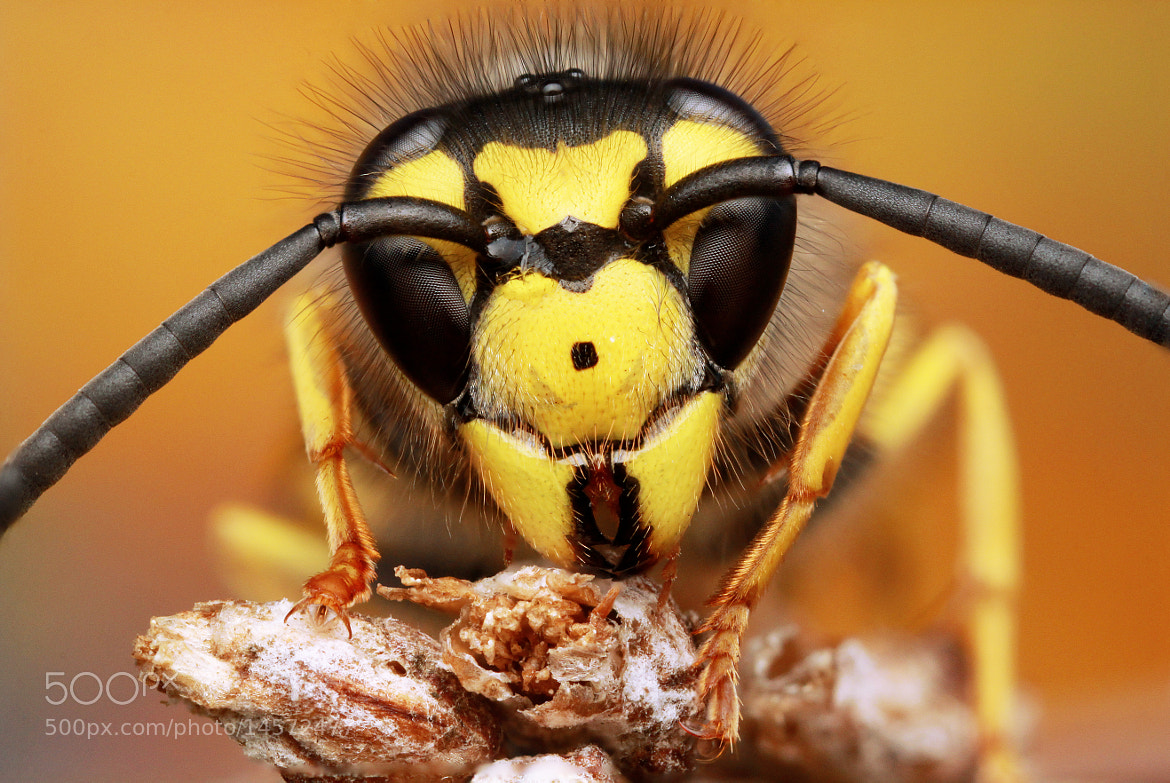 Photograph Angry Wasp by Julian Rad on 500px