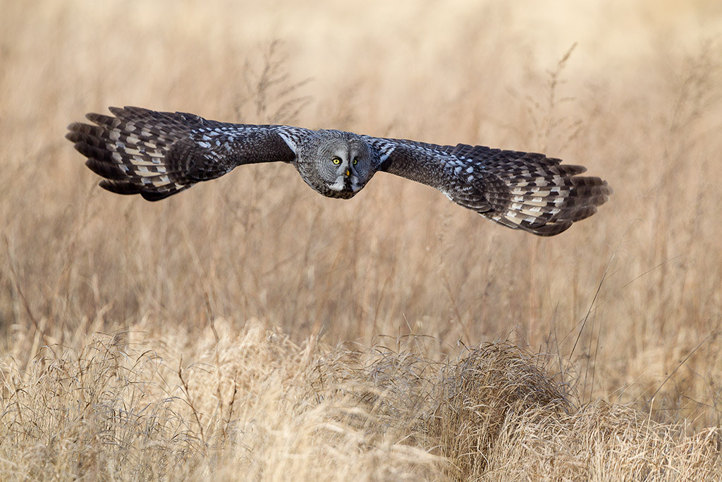 Photograph Hunting Great Grey by Peter Fallberg on 500px