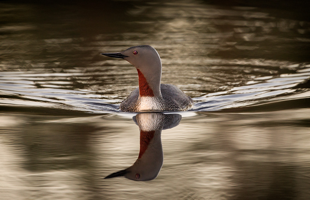 Photograph Red Throated Loon by Peter Fallberg on 500px