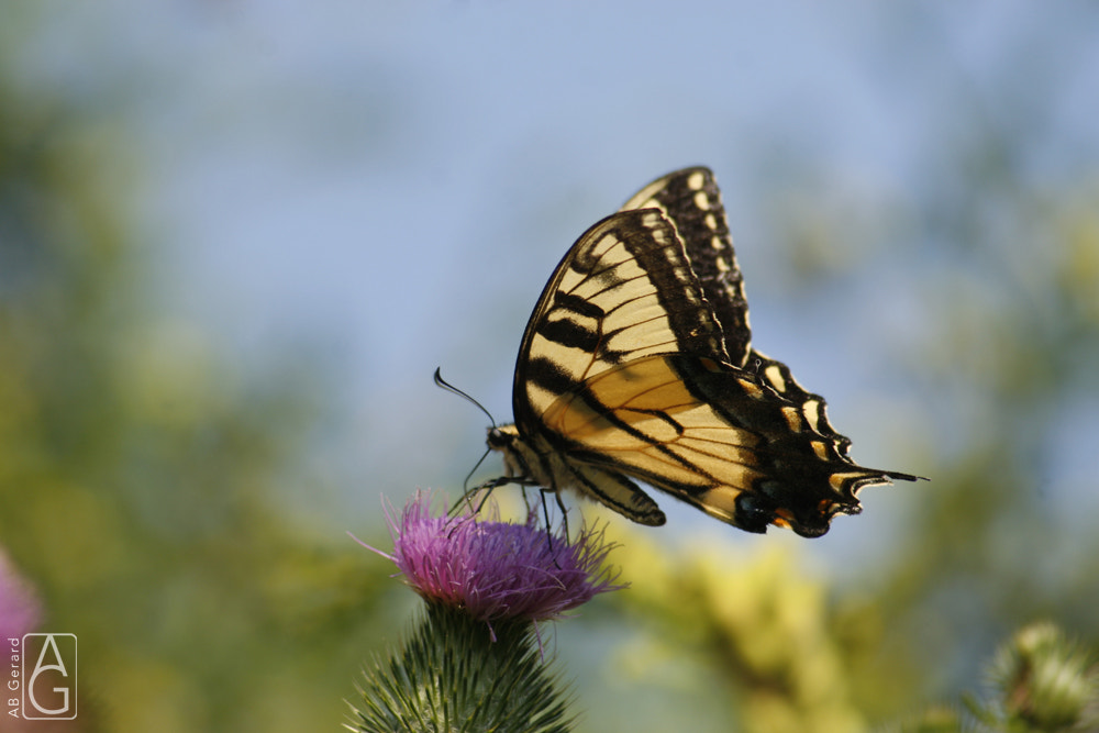 Photograph Swallowtail butterfly on thistle by Annette Gerard on 500px