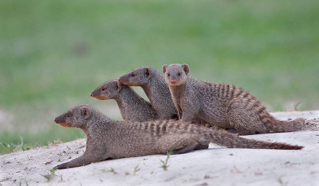 Photograph Banded mongoose by Ajit Huilgol on 500px