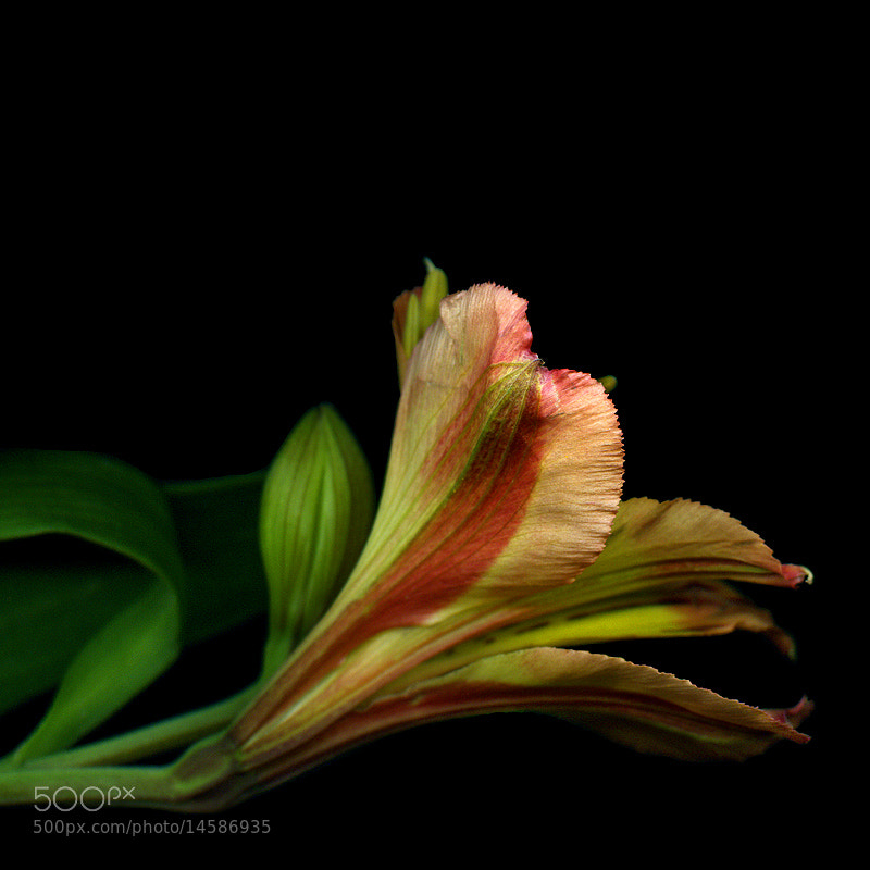 Photograph ALSTROEMERIA and BUD... by Magda Indigo on 500px