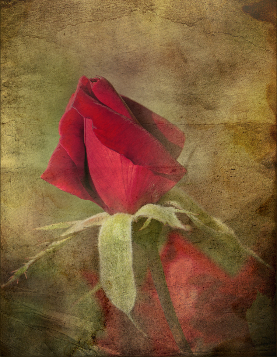 Photograph Red Rose by Ivelina  Aasen on 500px