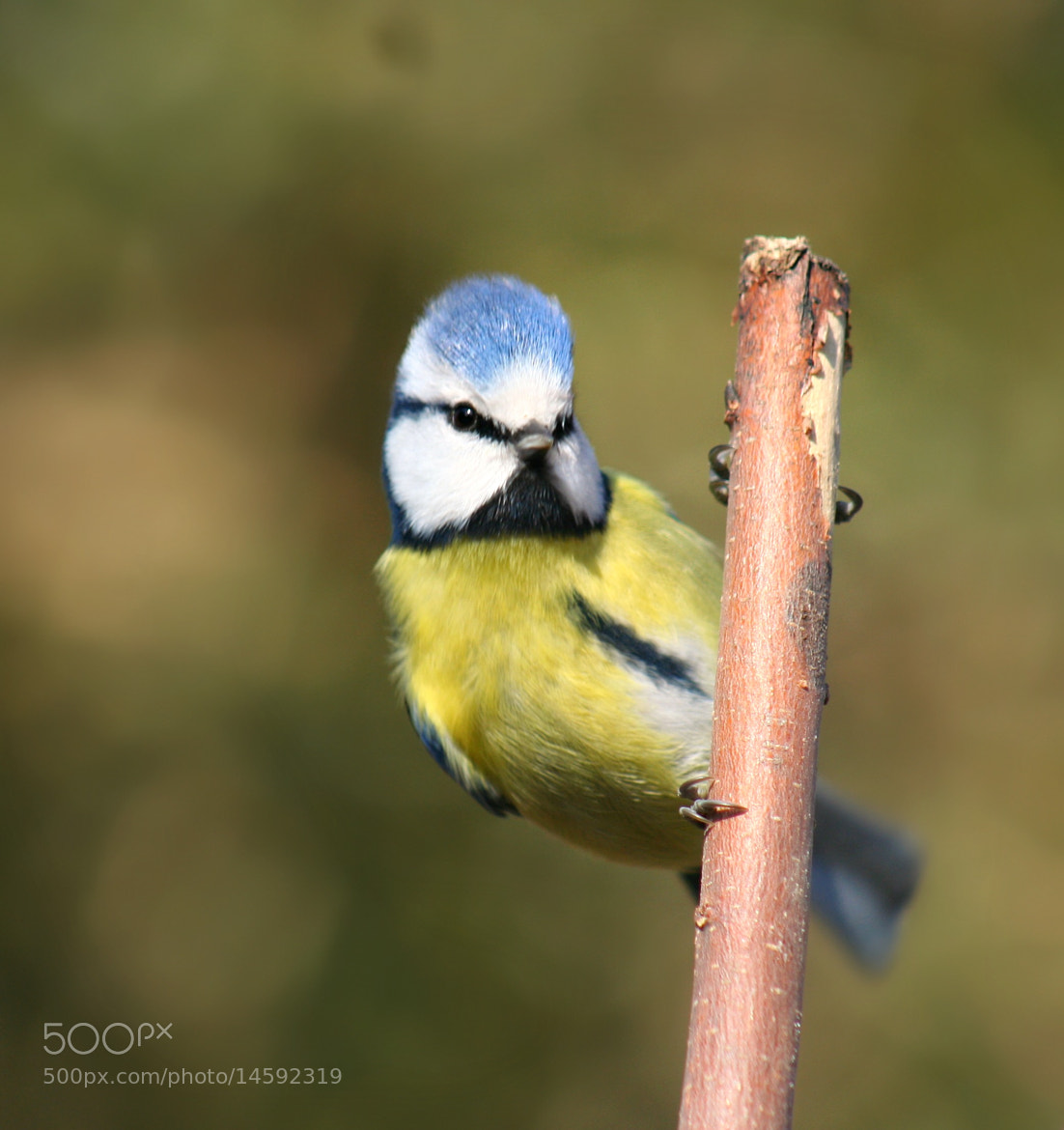 Photograph Blue tit by Sandrine Fernandes on 500px
