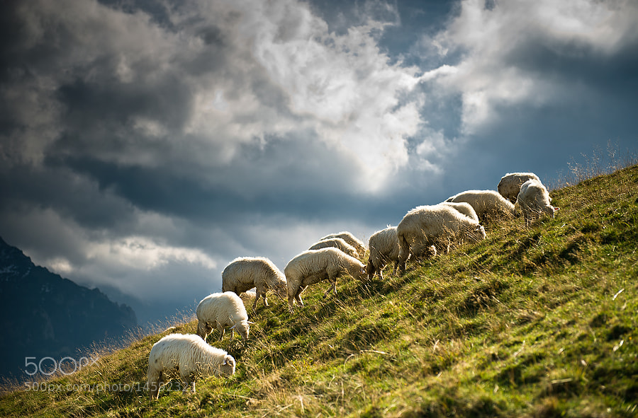 Photograph sheep in the Rusinowa Polana by Marcin Kesek on 500px