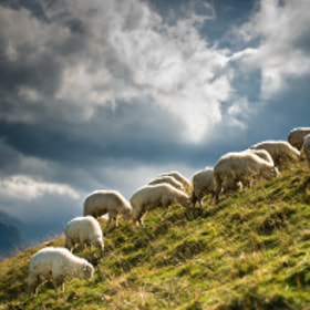sheep in the Rusinowa Polana by Marcin Kesek (marcinkesek)) on 500px.com