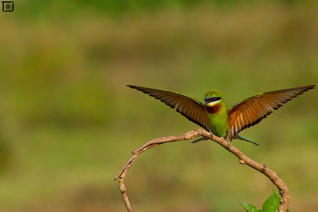 Photograph Blue-tailed Bee-eater by Thejaswi GVN on 500px