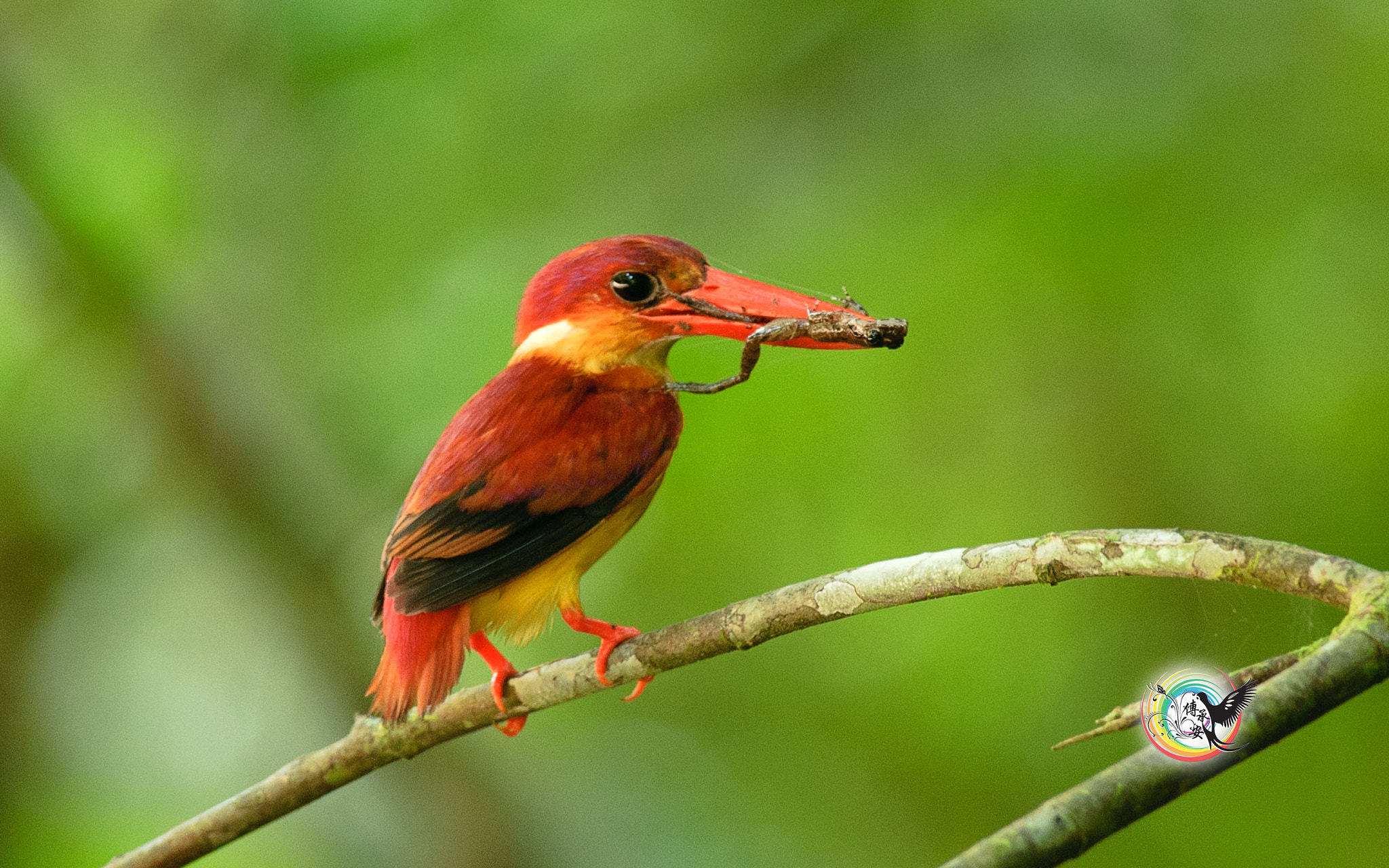Photograph 棕背三趾翠鸟 Rufous-Backed Kingfisher by Andy Fu on 500px