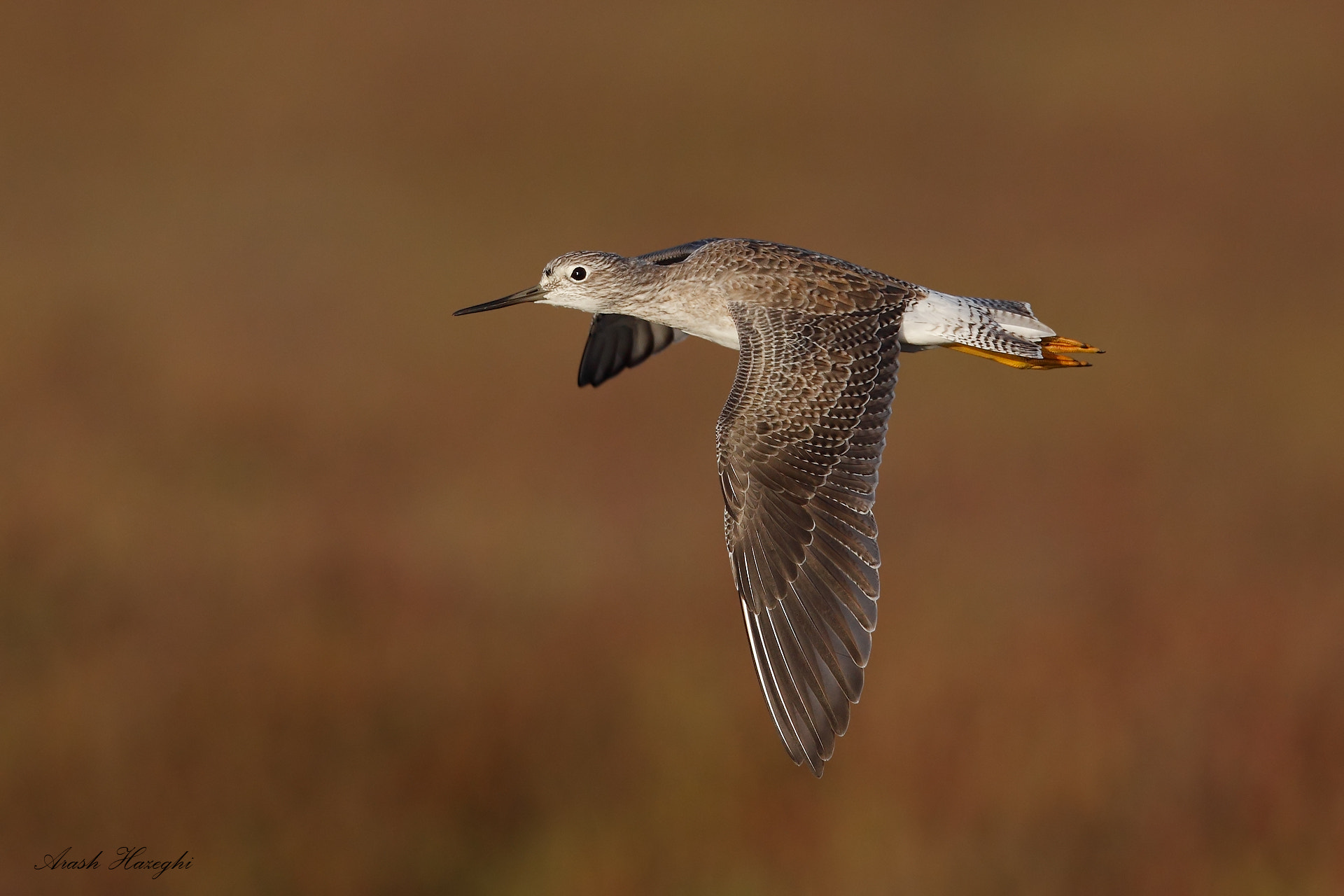 Photograph yellowlegs in flight by Ari Hazeghi on 500px