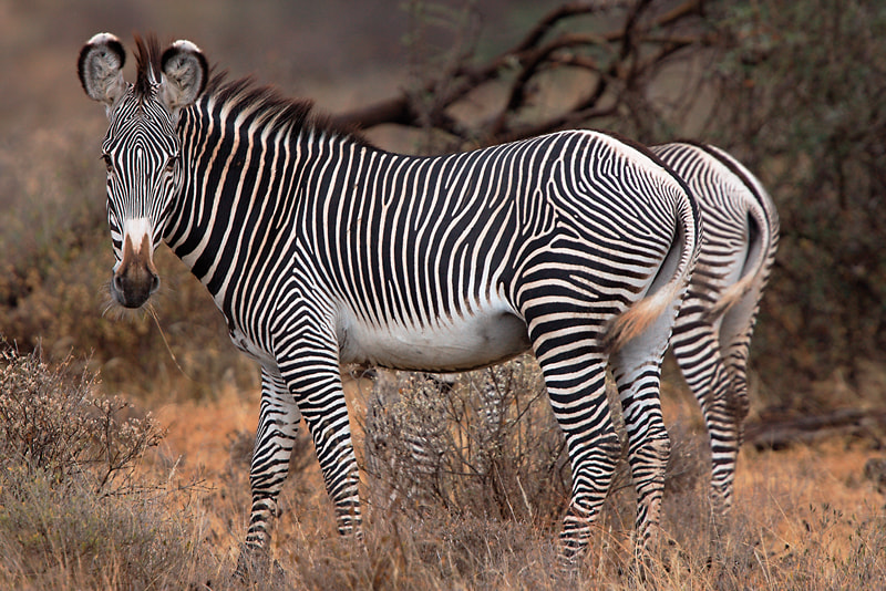 Photograph Grevy´s Zebra by Thomas Retterath on 500px