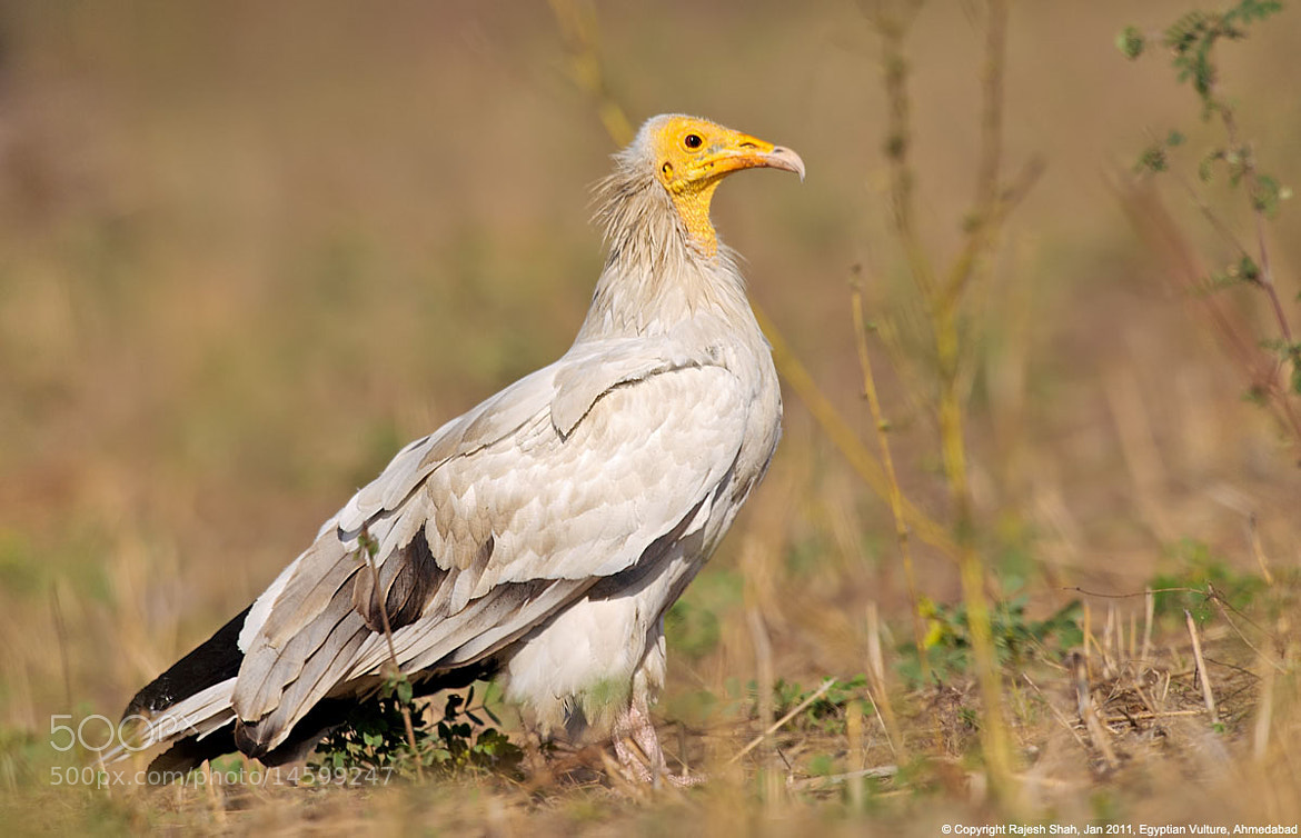 Photograph Egyptian Vulture by Rajesh Shah on 500px