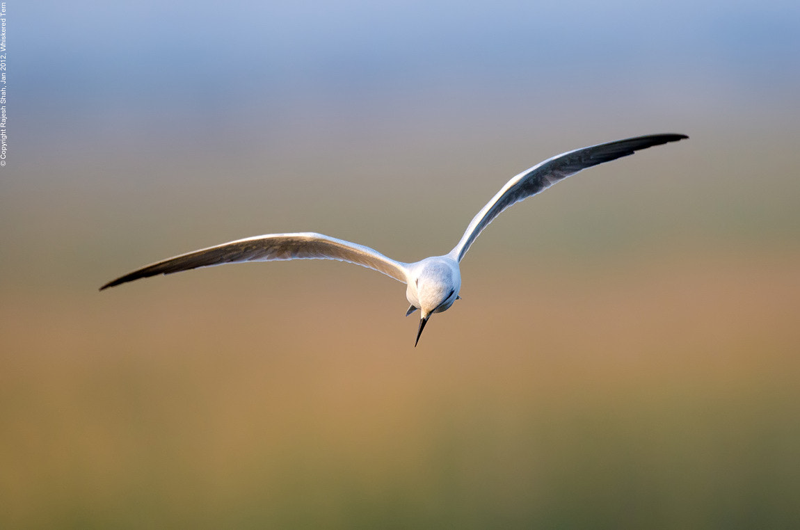 Photograph Whiskered Tern by Rajesh Shah on 500px