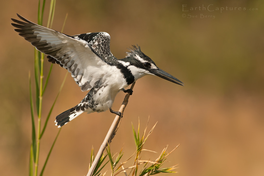 Photograph Pied Kingfisher by Sue Berry on 500px