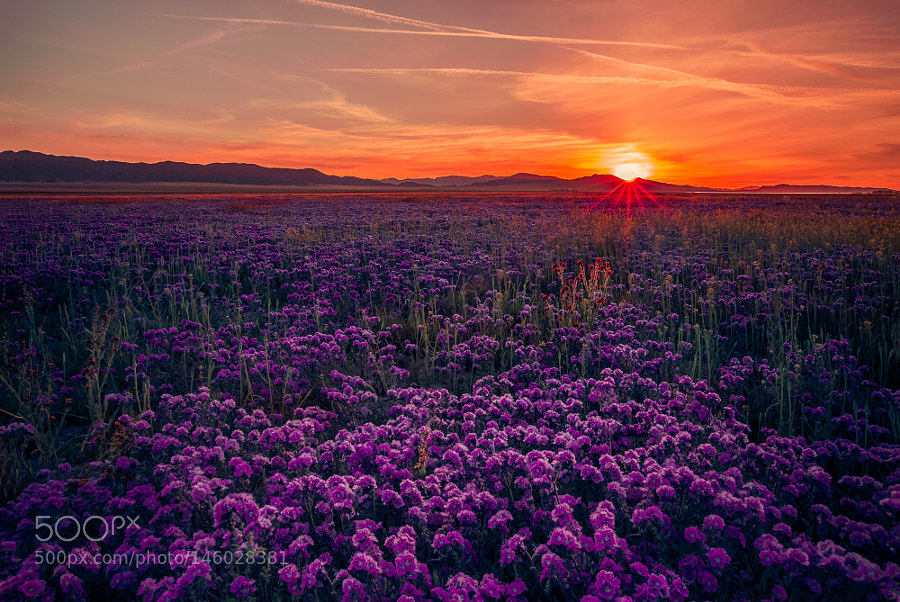 Phacelia Ciliada Field at Sunset by angelainokchong