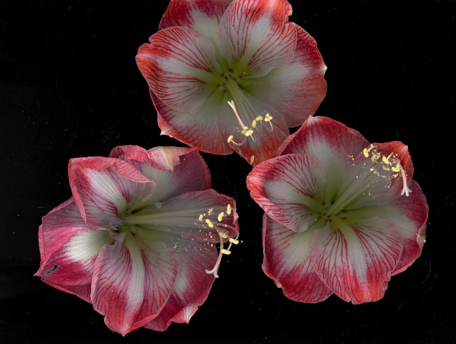 Amaryllis by John Poltrack on 500px.com