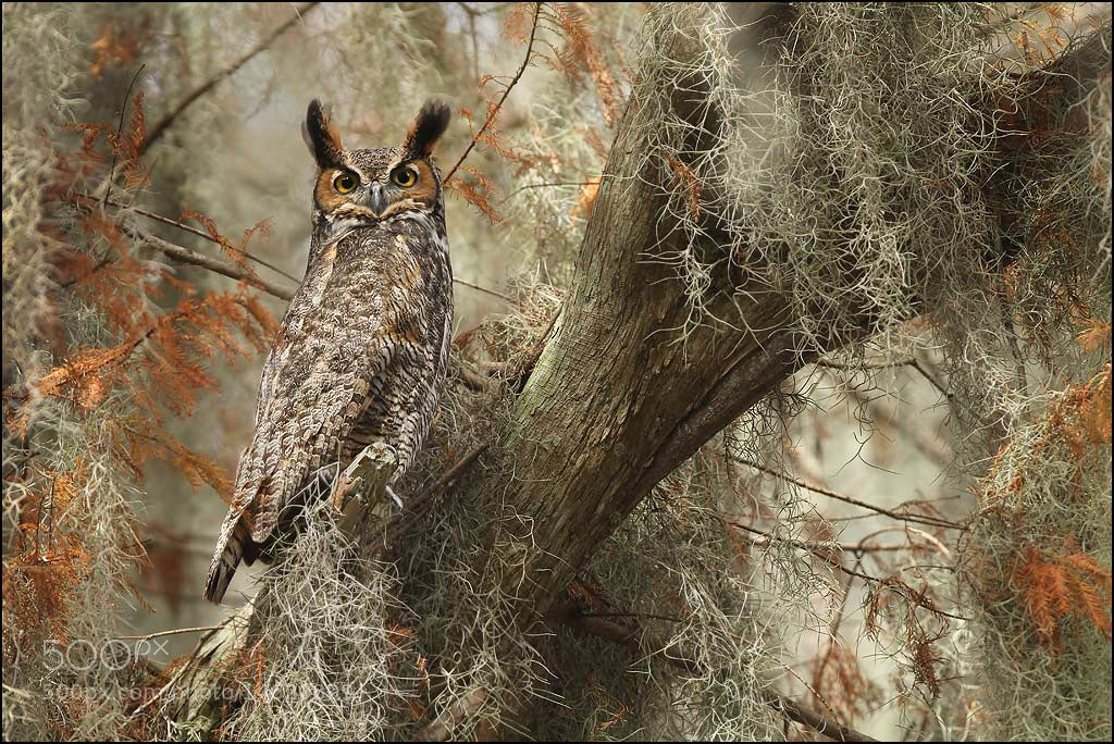 Photograph Great-horned Owl by Matthew Studebaker on 500px