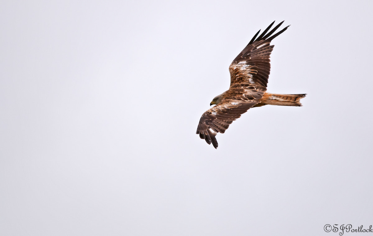 Photograph Red Kite  by Stephen Portlock on 500px