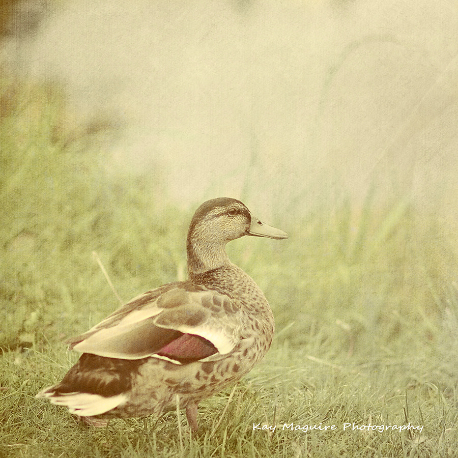 Photograph Little Miss Puddleduck by Kay Maguire on 500px