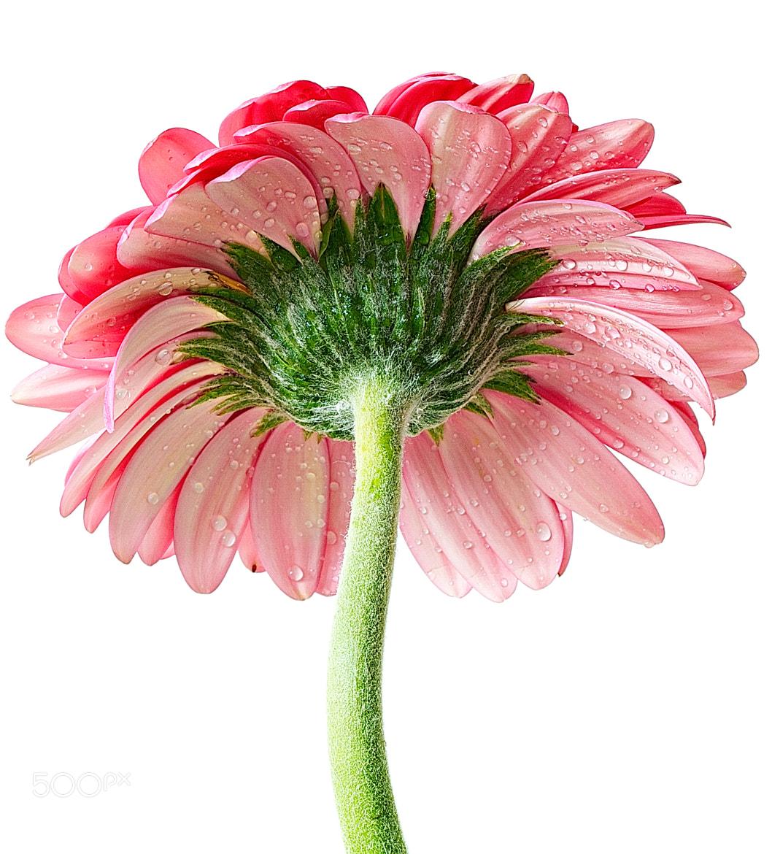 Photograph Pink Daisy by Senthil Kumar Damodaran on 500px