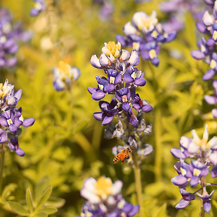 Blue Bonnets and Bee, Canon EOS-1D MARK IV, Canon EF 180mm Macro f/3.5L