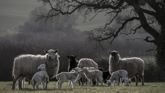 Lambs II