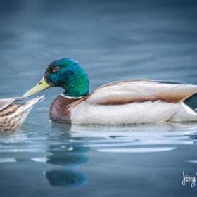 Ente / Duck
