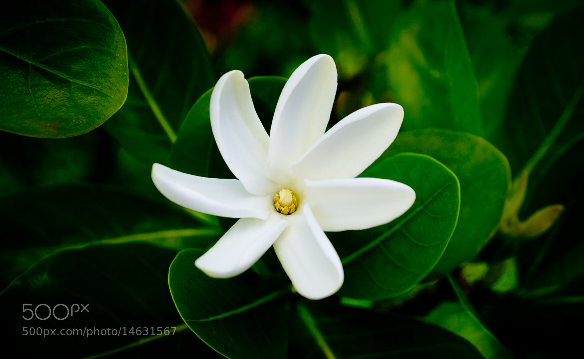 Photograph Tiare Flower By Tura Pambrun On 500px