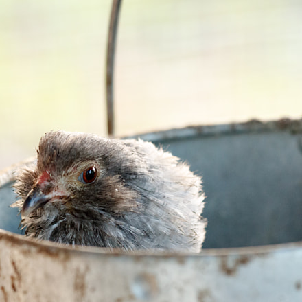 Bantam in a bucket, Canon EOS M3, Canon EF 70-200mm f/4L IS