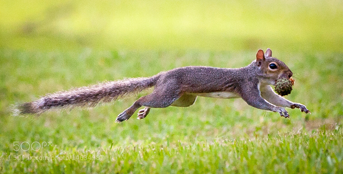 Photograph Squirrel by Logan Stanford on 500px