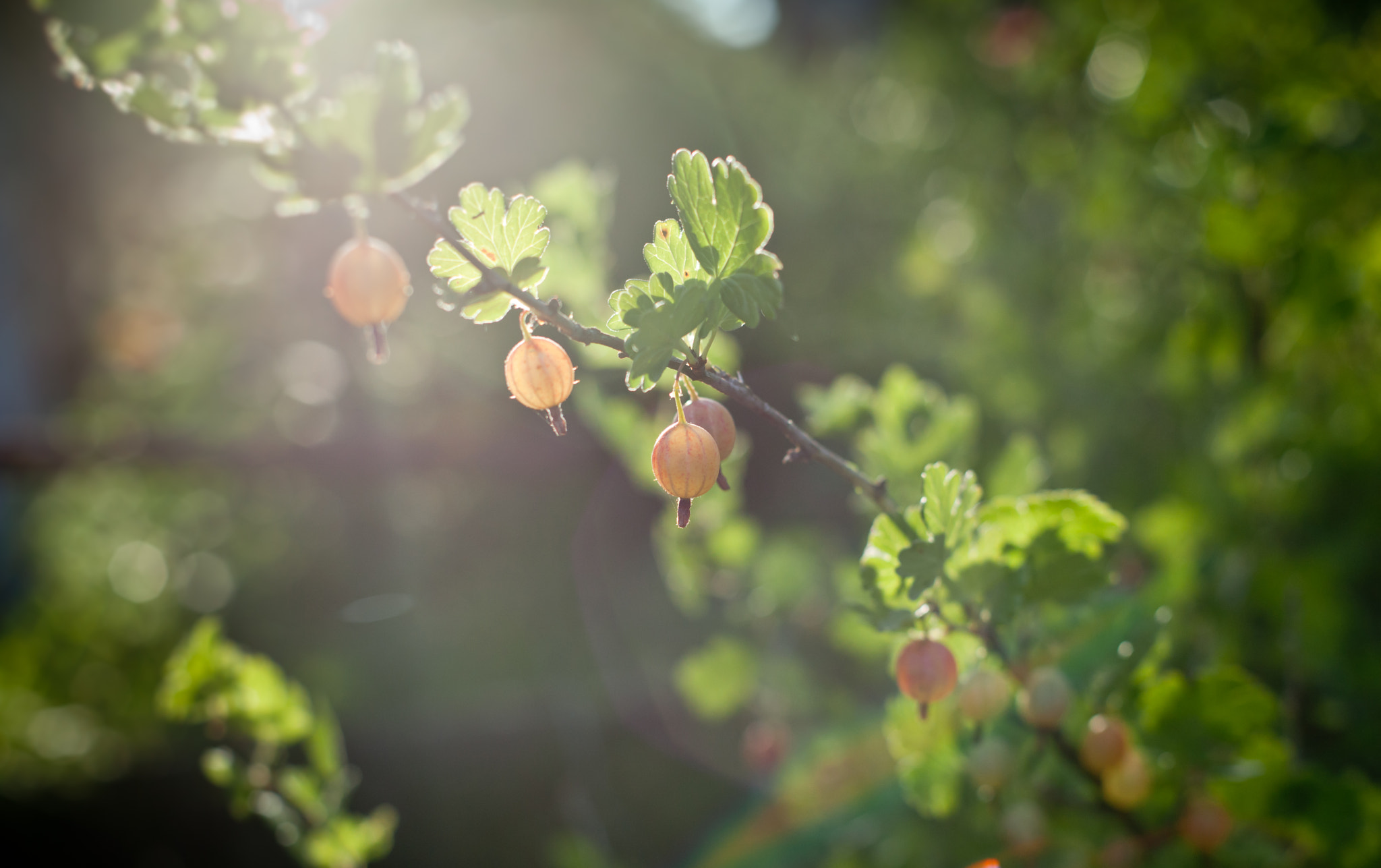 Photograph Gooseberry by Vladimir Senchikhin on 500px