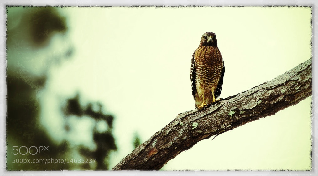Photograph Hawk by Logan Stanford on 500px