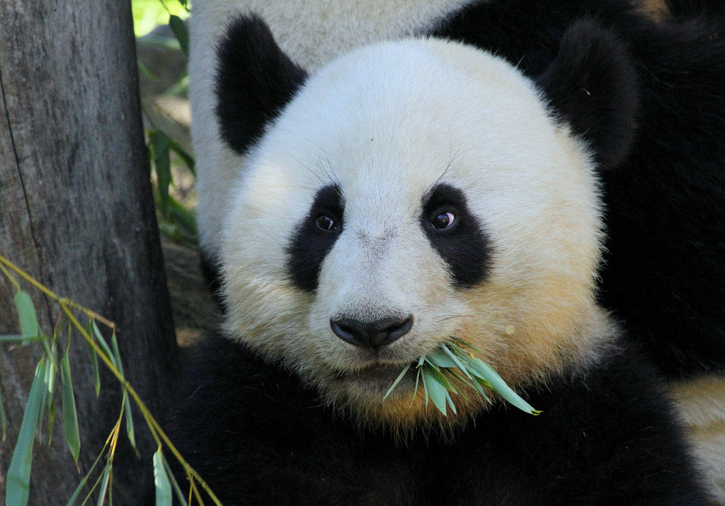 Photograph Young Giant Panda Fu Hu by Rainer Leiss on 500px