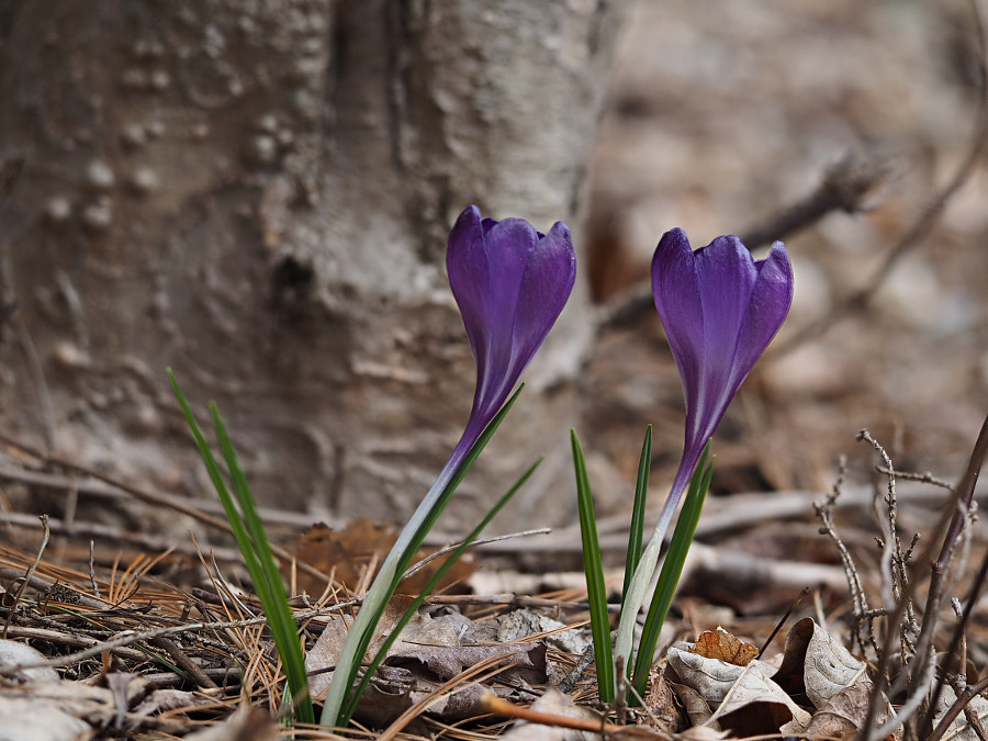 Purple Crocus by John Poltrack on 500px.com