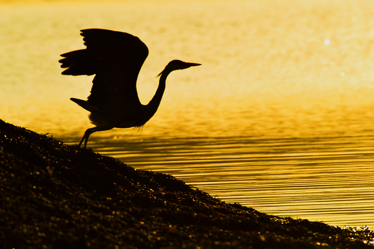 Photograph sea bird in evening light by Geir Magne  Sætre on 500px