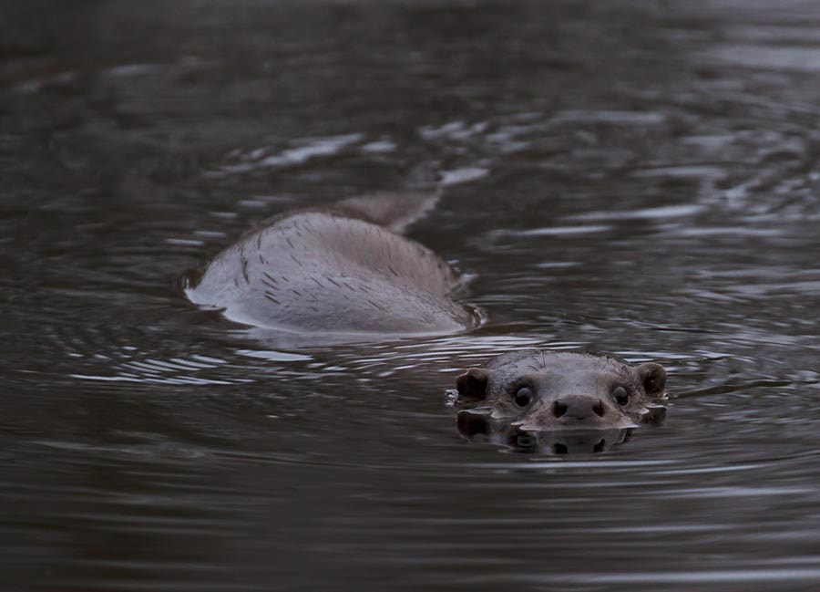 Photograph Otter by David Barnes on 500px