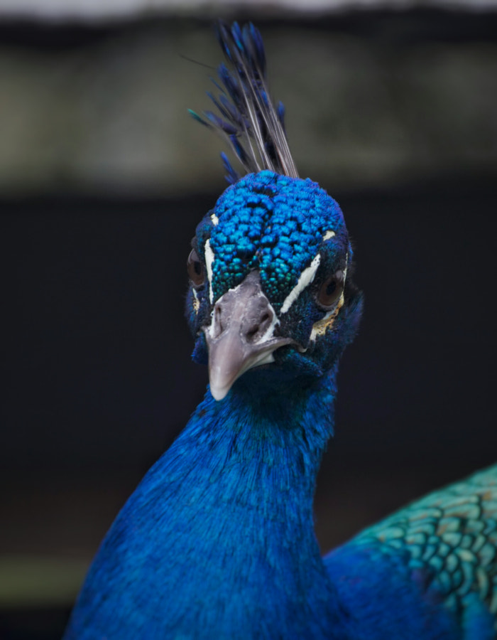 Majestic Peacock by Daniel Agnew on 500px.com