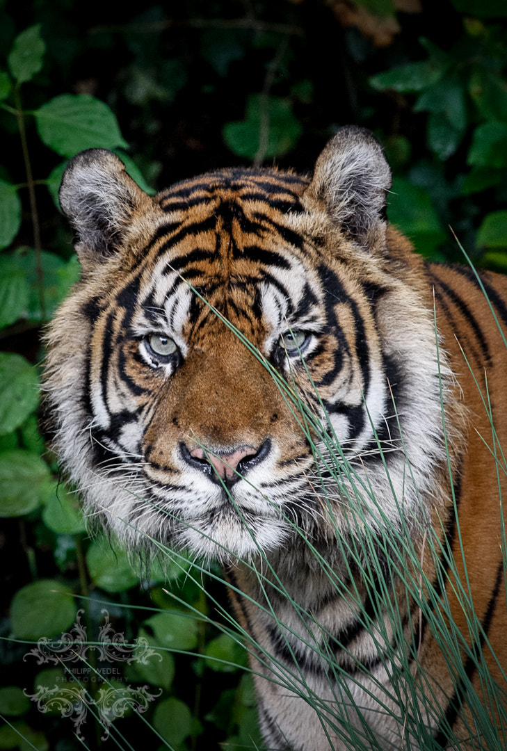 Photograph Tiger by Philipp Wedel on 500px